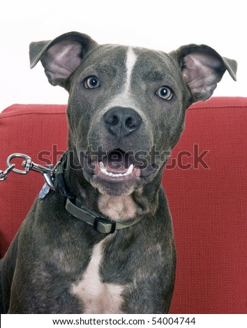 American Blue Pit Bull - stock photo