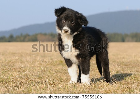 American Border Collie puppy 8 weeks - stock photo