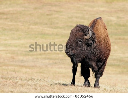 American buffalo, bison, at Custer State Park in South Dakota - stock photo