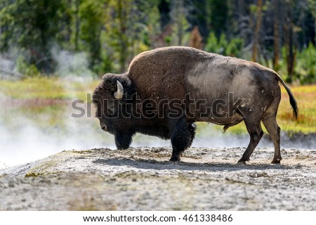 American Buffalo (Bison bison) Resting in The Steam of Geyser In The Yellowstone National Park, Wyoming, USA.