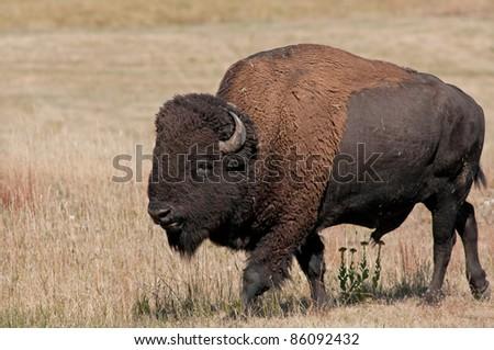 American buffalo, bison, in grasslands of Custer State Park, South Dakota - stock photo