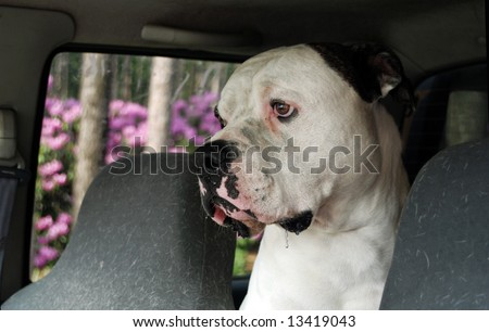 american bulldog drooling in car