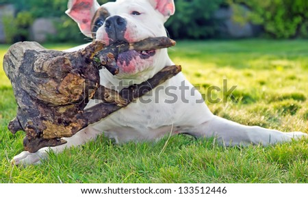 american bulldog playing with stump outdoors - stock photo