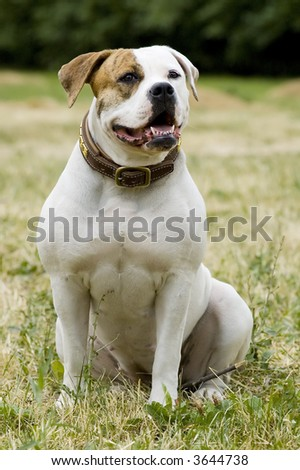 American bulldog portrait in seating position - stock photo