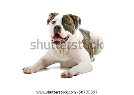 American bulldog puppy ( 5 months old) isolated on a white background