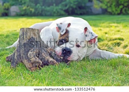 american bulldog relaxing outdoors - stock photo
