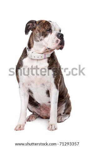 American Bulldog resting, isolated on a white background