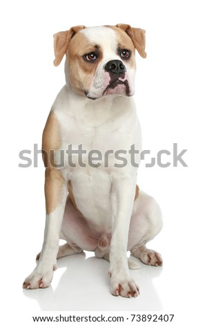 American bulldog sitting on a white background