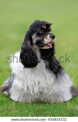 American Cocker Spaniel dog in green summer grass - stock photo