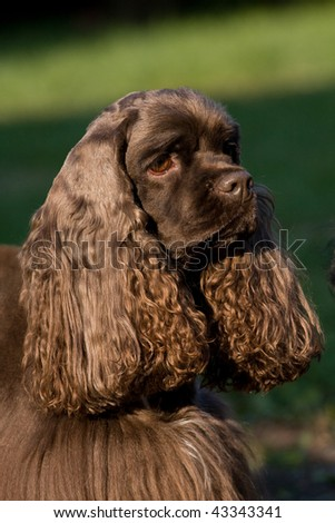 American Cocker Spaniel, female - stock photo