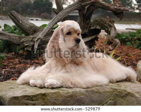 American Cocker Spaniel  laying down on a rock - stock photo