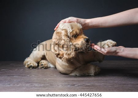 American cocker spaniel lying on dark background. Dog playing with a toy. Young purebred Cocker Spaniel. - stock photo