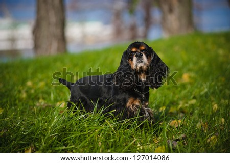 american cocker spaniel portrait in autumn - stock photo
