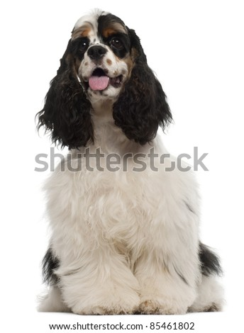 American Cocker Spaniel puppy, 6 months old, sitting in front of white background - stock photo