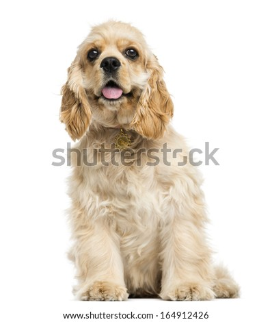American cocker spaniel puppy sitting, panting, 5 months, isolated on white - stock photo