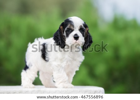 american cocker spaniel puppy standing outdoors