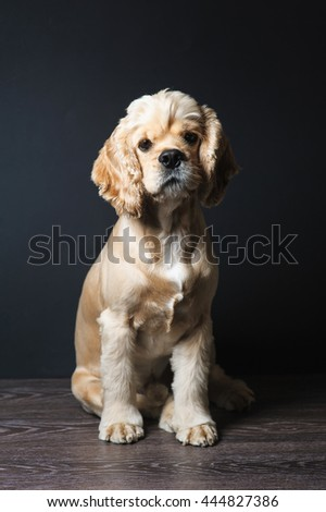 American cocker spaniel sitting on dark background. Young purebred Cocker Spaniel. Dog Staring at Camera. - stock photo