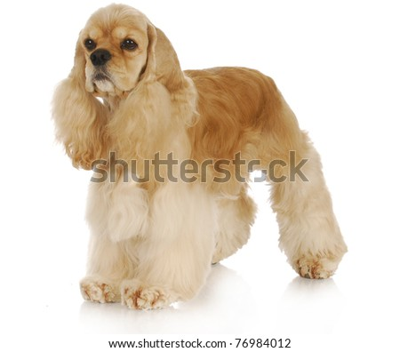 american cocker spaniel standing with reflection on white background - 3 years old - stock photo