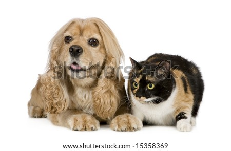 american Cocker Spaniel (3 years) in front of a white background