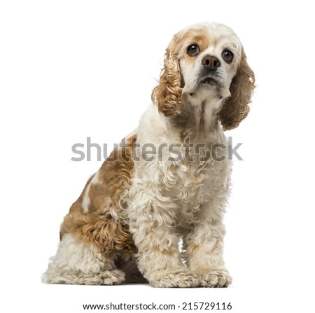 american cocker spaniel (6 years old) - stock photo