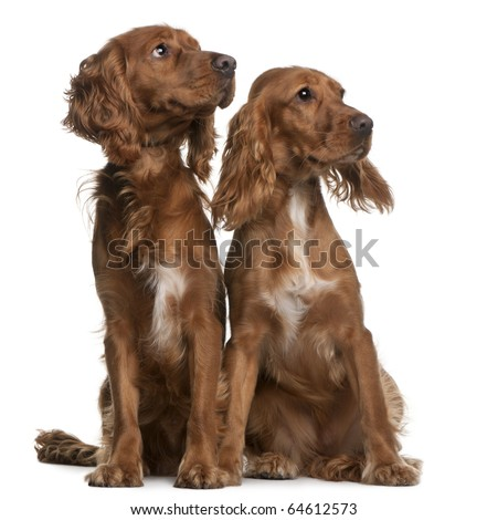 American Cocker Spaniels, 2 years old and 9 months old, sitting in front of white background - stock photo