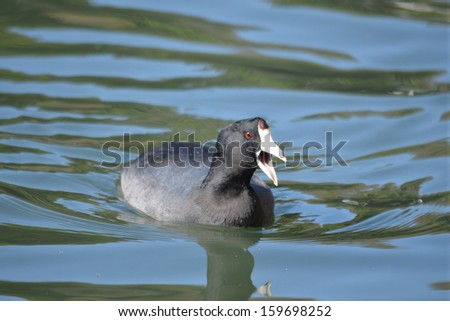 American Coot - stock photo