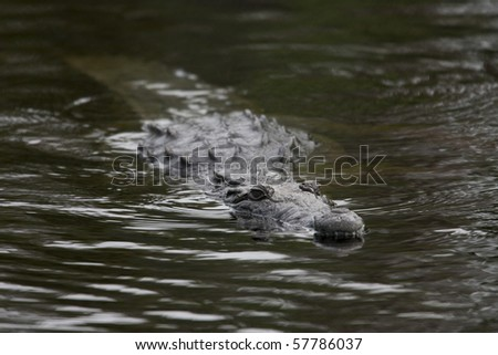 American Crocodile (Crocodylus acutus) swimming - stock photo