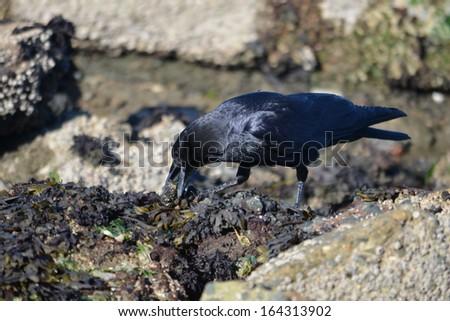 American Crow - stock photo