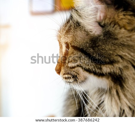 american curl cat looking outside , vintage filtter tone - stock photo