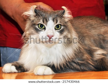 American Curl is a breed of cat characterized by its unusual ears, which curl back from the face toward the center of the back of the skull.  - stock photo