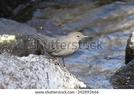 American Dipper (Cinclus mexicanus) in Yellowstone National Park - stock photo