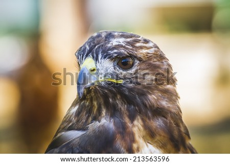 american eagle, diurnal bird of prey with beautiful plumage and yellow beak - stock photo