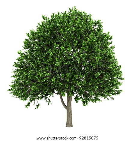 american elm tree isolated on white background