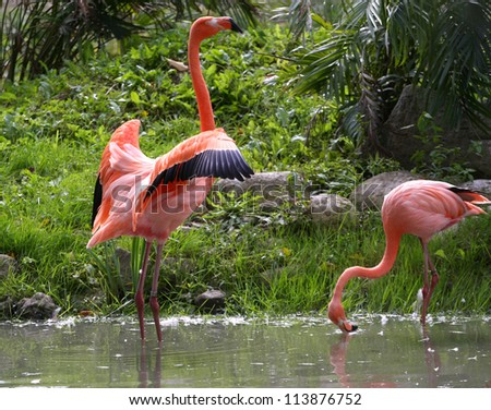 American Flamingo - stock photo