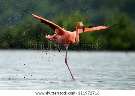 American Flamingo ( Phoenicopterus ruber ) run on the water with splashes. - stock photo