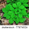 American Ginseng (Panax quinquefolius) growing on the forest floor. - stock photo