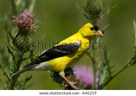American Gold Finch - stock photo
