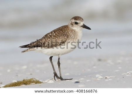 American Golden-Plover (Pluvialis dominica ) on a beach in later winter - St. Petersburg, Florida - stock photo