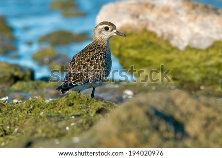 American Golden Plover walking on slimy rocks along the water's edge.