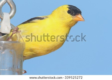American Goldfinch (Carduelis tristis) on a feeder with a blue background - stock photo