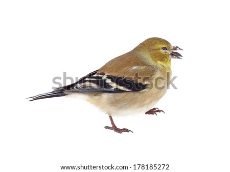 American goldfinch, Carduelis tristis, with a seed in its beak isolated on white