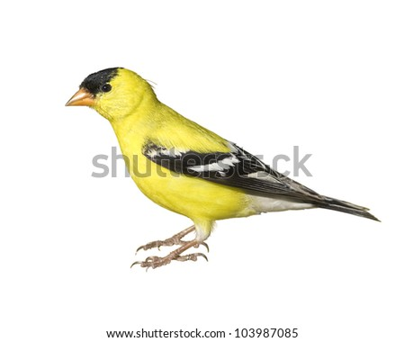 stock-photo-american-goldfinch-male-isol