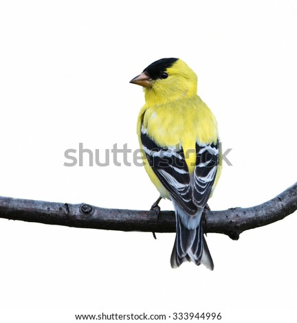 American Goldfinch on White Background, Isolated