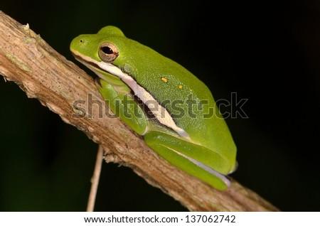 American Green Tree Frog - stock photo
