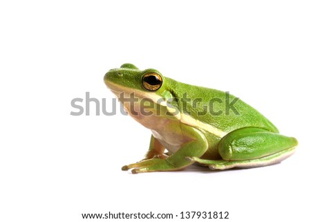 American green tree frog (Hyla cinerea) on a white background - stock photo