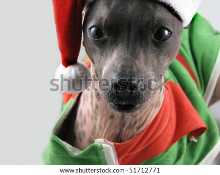 American Hairless Terrier
