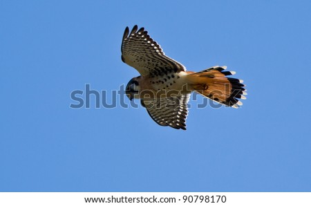 American Kestrel (Falco sparverius), sometimes colloquially known as the Sparrow Hawk. It is the most common falcon in North America - stock photo