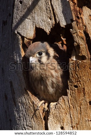 American kestrel / Sparrow Hawk, baby looking out of nest hole in a Pine Tree trunk, falco sparverius falcon cute baby animal bird - stock photo