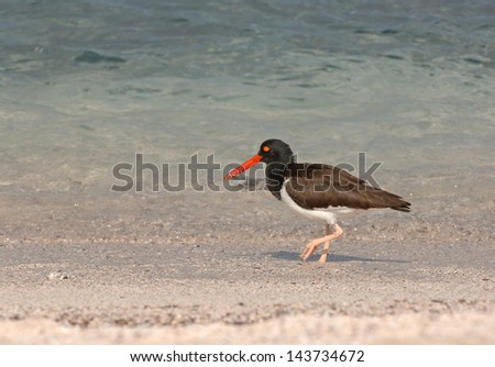 American Oystercatcher - stock photo