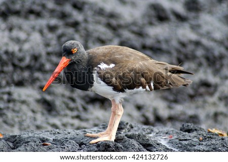 American oystercatcher (Haematopus palliates) on lava rock on Santiago Island in the Galapagos Islands - stock photo